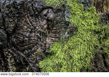 Mud Sphagnum Is A Floral Texture. Seasonal Forest Photo. Old Stump Photo Of Elements Of Nature.