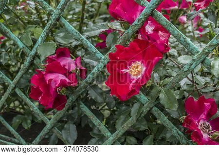 Summer Wild Roses Through The Fence. Summer Wild Roses Photo.