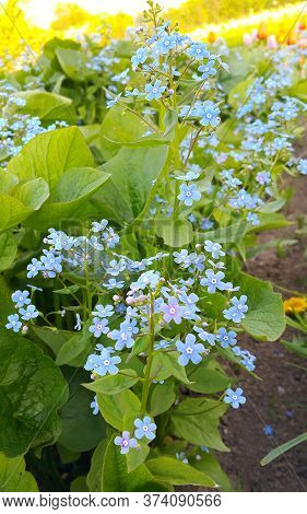 Small Blue Bright Flowers Of Forget-me-nots In Spring Park