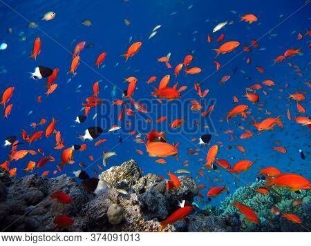 Fish. Fabulous Perch - Precious Pseudanthias Is The Most Common Antias In The Red Sea. Divers See Hi