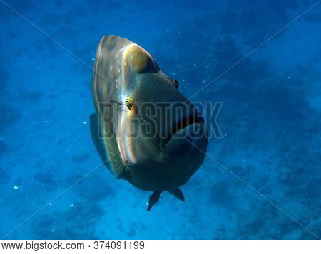 Napoleon Fish. Fish - Type Bone Fish Osteichthyes. Gubanovye - Labridae. Fish - Napoleon.