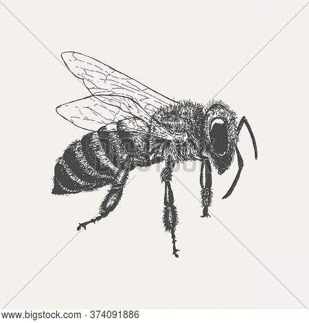 Bee Isolated On White Background. Hand Drawn Sketch In Vintage Engraving Style. Vector Illustration
