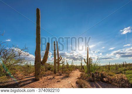 Saguaro Cactus At Sunset In Sonoran Desert In Phoenix, Arizona, Usa