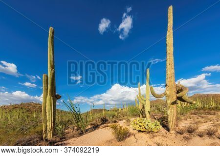 Saguaro Cactus At Sunset In Sonoran Desert In Phoenix, Arizona, Usa