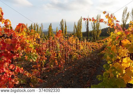 Autumn Vineyards With Red And Yellow Leaves. Horizontal Beautiful Autumn Background. The Harvest Of