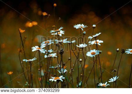 Marguerites Et Fleurs Des Champs Dans Prairie