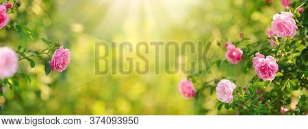 Beautiful Nature Field With Vintage Rose Flowers Of Pink Color In Rose Bushes In Sunlight, English G