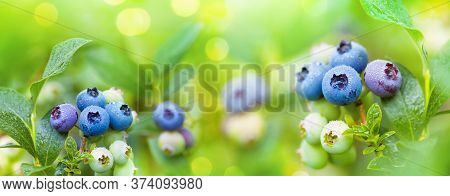 Fresh Organic Blueberries In Raindrops On The Bush Against Nature Green Background. Gardening Concep
