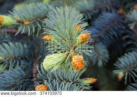 Fir Coniferous Backgrounds. Fir Tree Branches Of A Fur Tree. Christmas Tree Branch Background. Spruc