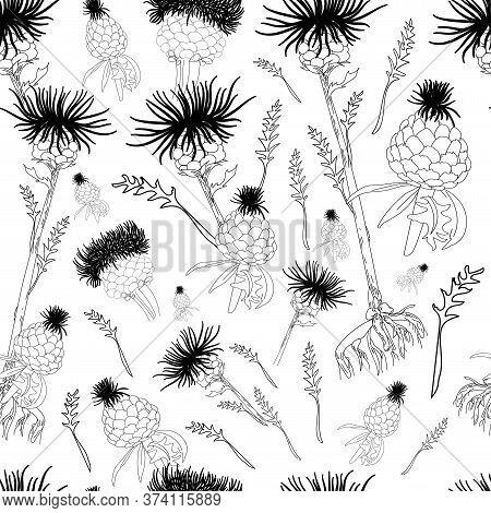 Leuzea Root. Maral Root. Medicinal Plants Linear Drawing. Botanical Illustration