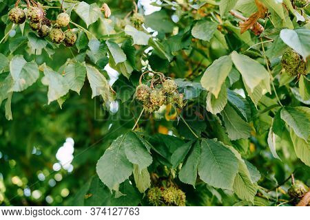 The Fruit Of Horse Chestnut On The Branches Of The Tree - Ball-shaped Boxes With Spikes.
