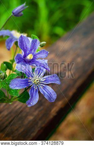Flowers In The Garden Get Wet In The Rain. Wet Flowers Glisten In The Rain. Grainy Background. Selec