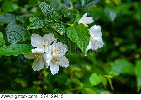 Jasmine Flowers. Jasmine Branch On A Background Of Foliage. Grainy Background. Selective Soft Focus.