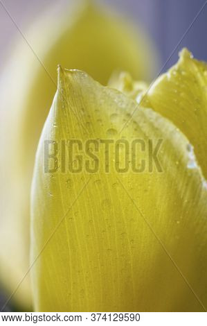 Light Yellow Petal Of Tulip, Macro With Drops Of Water With Defocused Blue Background Vertical Pictu