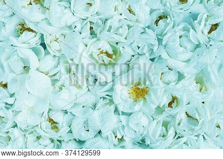 Live Wall With Many Tender Mint Blue Wild Roses. Horizontal Banner. Top View Shot. Full Bloom Backgr