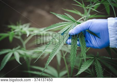Woman's Hand Holding A Young Growing Cannabis Marijuana Leaf. Legal Marijuana Cultivation In The Hom
