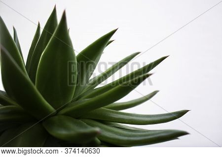 Close-up Of Green Succulent Plant On White Background. Tranquil And Minimalist Scene. Space For Text
