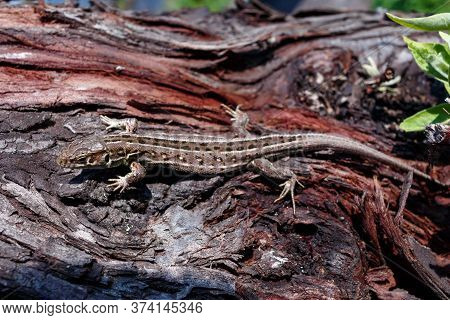 Green Forest Lizard, Sitting On A Tree. Wild Lizard Green. A Brown-green Lizard Sits On A Tree. Zoot
