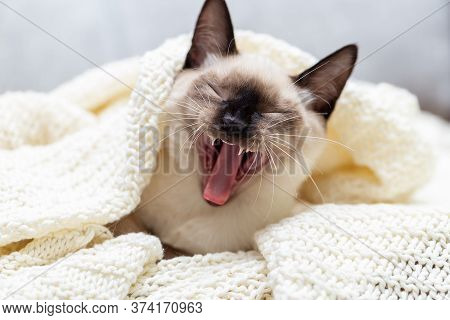 The Cat Lies Under The Blanket On The Sofa And Yawns Sweetly, Opening Its Mouth Wide