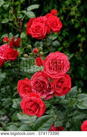 Rosa Grand Hotel 'mactel', Red Flowers In Full Bloom