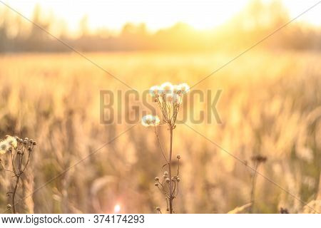 Wildflower Meadow, Flower Meadow. Fall Nature Backgrounds. Sunset On Autumn Field.