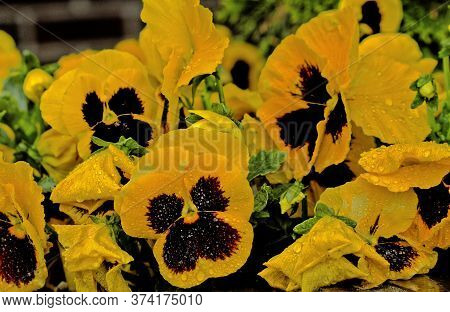 Yellow Pansies Of Wittrockiana Gams Flowers Mokke From The Rain