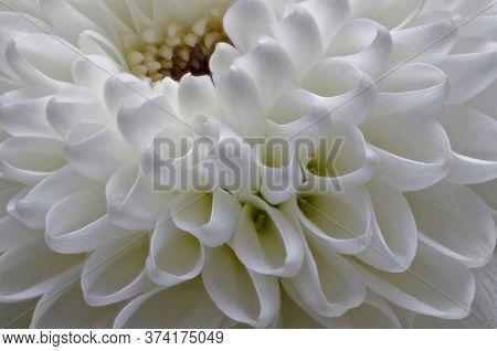 Chrysanthemum Dendranthema Des Mou White Flower Big Closeup