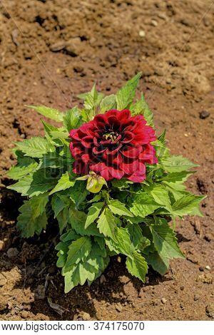 Dahlia Flower, Beautiful Shade Of Claret.dahlia