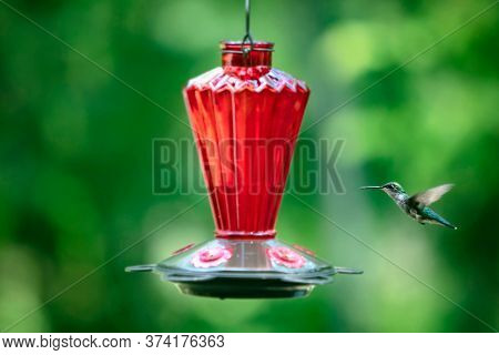 Female ruby-throated hummingbird drinking nectar from a feeder, focus is on the bird
