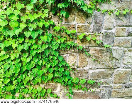 Sochi, Russia, 20 June 2020. The Plant Weaves Along The Wall In Sochi Park. Quarantine Coronavirus.