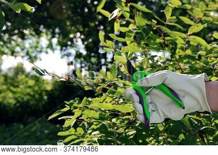 Hand In A Leather Glove Cuts A Branch Of A Bush With A Pruner In The Garden On A Sunny Day