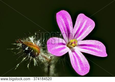 Close-up Of Blossom Of Herb Robert With Dark Background