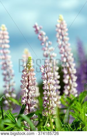Flowers Of Pink Lupin On The Field In Natural Sunlight.