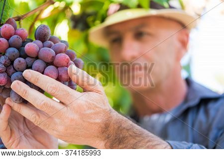 Agricultural Checking Quality Wine Grapes In Vineyard. Winemaker Examining Grapes. Traditional Winer