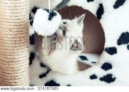 A Funny White Thai Kitten Plays With A Fur Ball On A Rope