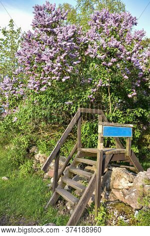 Blossom Lilac Tree By A Wooden Stile In A Nature Reserve On The Swedish Island Oland