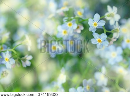 Pretty Flowers Of Delicate Flowers Of Forget-me-nots