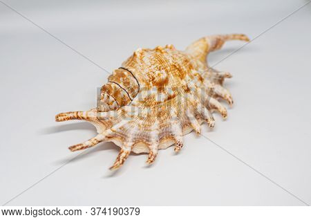 Shell Of Spider Conch, Also Known As The Lambis Lambis, On The White Background.