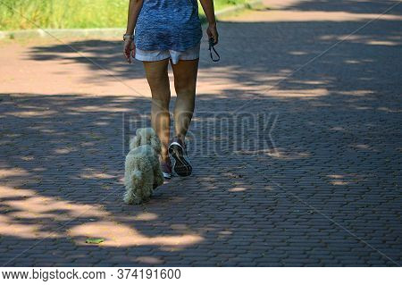White Dogs Walk , Accompanied By Their Mistress, On The Sidewalk.