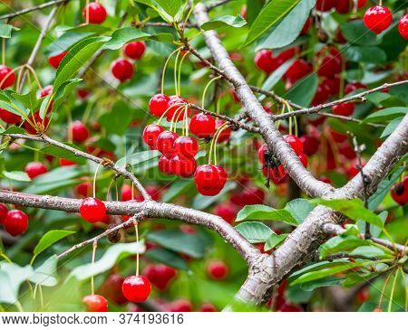 Fresh Red Cherry Berries In A Tree With Green Leaves. Selective Focus Of A Cherry Tree.