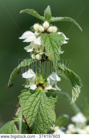 Stinging Nettle (urtica Dioica) Blossom