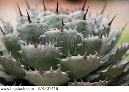 Background From A Close-up Of Agave Potatorum. Succulents Mezcal Alcoholic Drink.