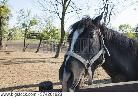 Horse Head. Detail Of The Dark Stallion Head Looking At Camera Through The Wooden Fence On Pasture,
