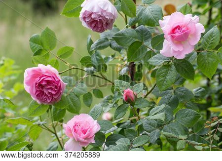 Blooming Rose In The Garden On A Sunny Day. Rose The Ancient Mariner