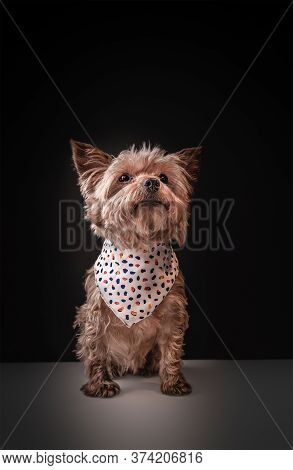 Cute Specimen Of A Yorkshire Terrier Breed Dog Adorned With A Neckerchief
