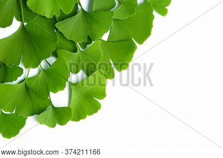 Many Green Leaves Of Ginkgo Biloba Isolated On A White Background And Arranged In A Composition Suit