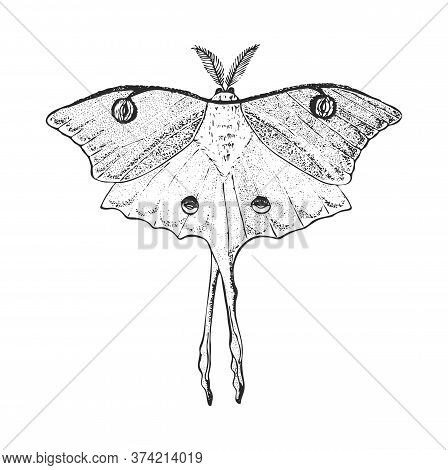 Butterfly Or Wild Luna Moths Insects. Mystical Symbol Or Entomological Of Freedom. Engraved Hand Dra