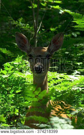 Deer on the Marshland Wildlife Drive at the Seney National Wildlife Refuge