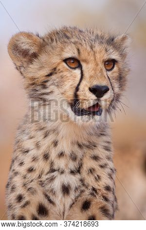 Close Up Vertical Portrait Of A Cheetah Cub Looking To The Side In Kruger Park South Africa