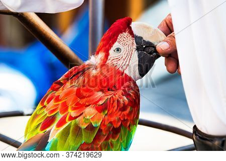A Red - Green Macaw Parrot Profile View, Perched, Eating Food From The Hand Of His Owner, Outdoors.
